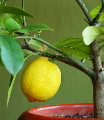 How to grow your own LEMON-TREE